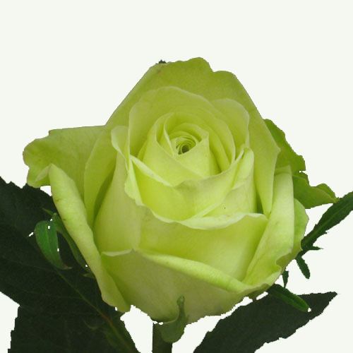 wholesale premium fresh cut green roses danisa 39 s