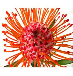 Pincushion Protea  Orange
