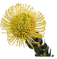 Pincushion Protea  Yellow