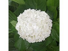 Hydrangeas White Select