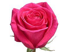 Hot Pink Rose Pink Floyd