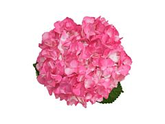 Hydrangea Tinted Hot Pink