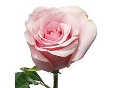 Light Pink Rose Titanic