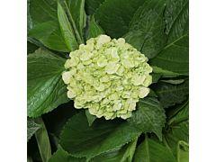 Hydrangeas Mojito Green