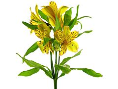 Alstroemeria Yellow