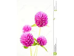 Gomphrena - Hot Pink