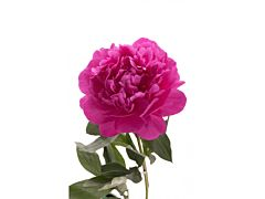 Peonies - Fushia Pink