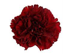 Carnation Burgundy