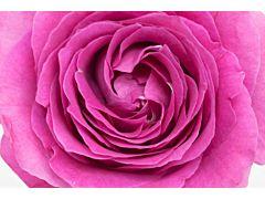 Garden Rose Bliss Cerise