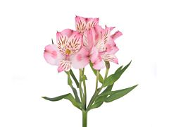 Alstroemeria  LIght Pink