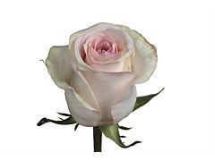 Blush Pink Rose Señorita