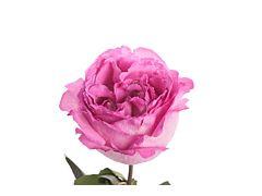 Garden Rose Ives Piaget