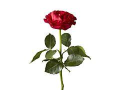 Garden Rose Mayra Hot Pink