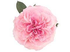 Garden Rose Mayra Pink