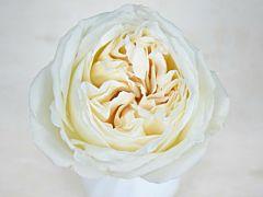 Garden Rose Jeanne Moreau