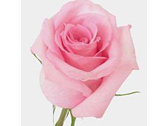 Blush Pink Rose Jessica