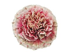 Carnation Merleto Crimson