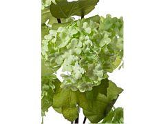 Viburnum - green