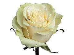 White Rose Mondial
