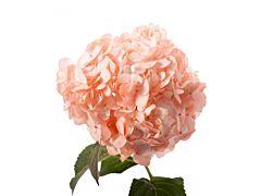 Hydrangea Tinted Peach