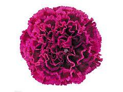 Carnation fushia pink