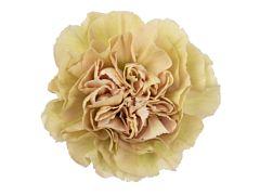 Carnation Putumayo