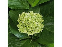 Hydrangeas Mini Green - Light
