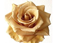 Garden Rose Combo