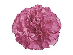 Carnation Aminco Lavender