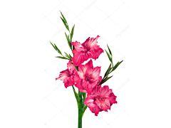 Gladioulus — hot pink