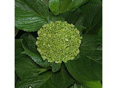 Hydrangeas Mini Green - Dark