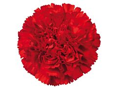 Carnation Red
