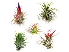 Succulents  Air Plants  - Medium