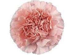 Carnation Blush pink