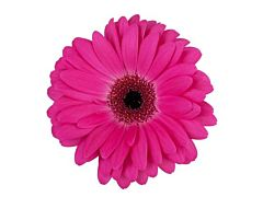 Gerbera Daisy — hot pink