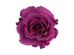 Garden Rose Mamy Blue