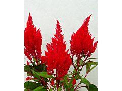 Celosia Red