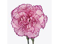 Carnation Boheme