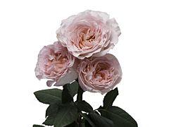 Garden Rose Augusta Louise