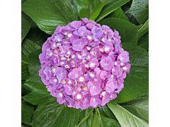 Hydrangeas Rasberry Mix