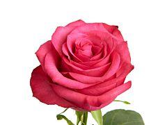 Hot Pink Rose Lola