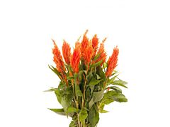 Celosia Orange
