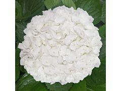 Hydrangeas White Jumbo