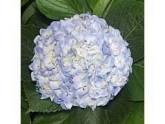 Hydrangeas Blue Premeium