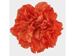 Carnation Dark Orange