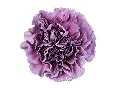 Carnation Extasis