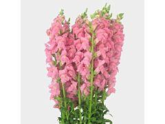 Snapdragon pink