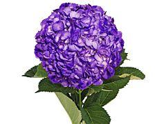 Hydrangea Tinted Purple