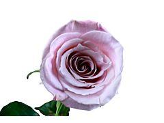 Light Pink Rose Faith