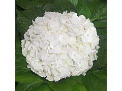 Hydrangeas White Premium